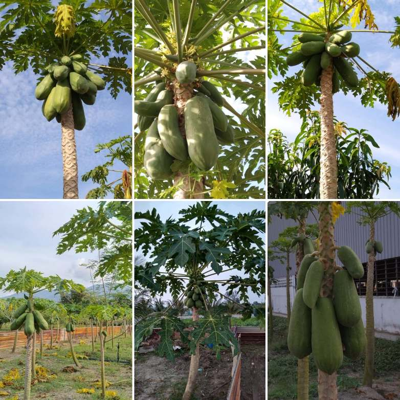 Fertile and fruitful trees of Papayas in MySkills Campus. Grown organically and serving the young people with nutritious food.